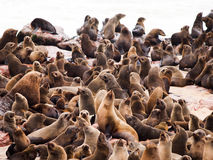 Brown Fur Seal colony at Cape Cross. Brown Fur Seal, or Arctocephalus pusillus, colony at Cape Cross in Namibia stock photos