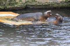 Brown fur seal royalty free stock images