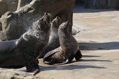 Brown fur seal Stock Photography