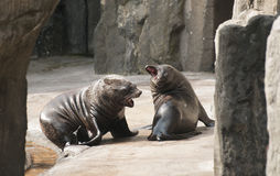 Brown fur seal Royalty Free Stock Images