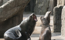 Brown fur seal Stock Image