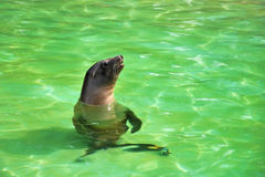Brown Fur Seal playing in water. Photo of a brown fur seal swiming in a body of green water Stock Images