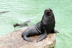 Brown fur seal. Sitting on a rock royalty free stock photography