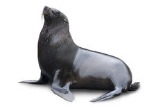 Brown fur seal. (South African fur seal) isolated on white background Royalty Free Stock Images