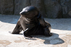 Brown fur seal Royalty Free Stock Photos