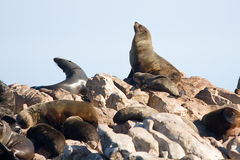 Brown fur seals Royalty Free Stock Photo