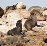 Brown fur seals Stock Photography
