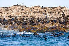 Brown fur seals Stock Photos