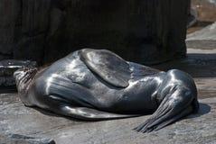 Brown Fur Seals Stock Image
