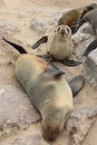 Brown Fur Seals (Arctocephalus pusillus) Stock Photos