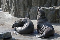 Brown Fur Seals (Arctocephalus pusillus) Stock Images