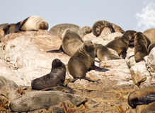 Brown fur seals Royalty Free Stock Photography