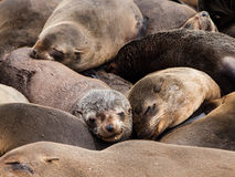 Brown Fur Seals (Arctocephalus pusillus) Royalty Free Stock Photography