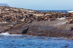 Brown fur seals Stock Photo