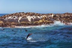 Brown fur seals Stock Photos