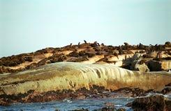 Brown fur seals, Duiker Island, South African Republic Stock Photos