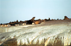 Brown fur seals, Duiker Island, South African Republic Stock Images