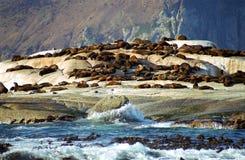 Brown fur seals, Duiker Island, South African Republic. Brown fur seals in Duiker Island, South African Republic stock photo