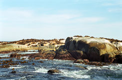 Brown fur seals, Duiker Island, South African Republic Royalty Free Stock Photo