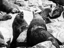 Brown fur seals fight royalty free stock image