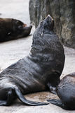 Brown Fur Seals, rest Royalty Free Stock Photo
