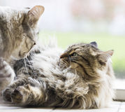 Brown furry cat and silver kitten of siberian breed playing in the garden Stock Photos