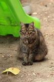 Brown furry cat in the yard Royalty Free Stock Photography