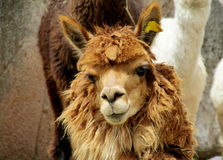 Brown furry domesticated alpaca portrait royalty free stock photos