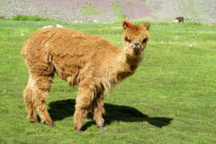 Brown furry domesticated small baby alpaca stock photos