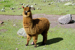 Brown furry llama on green meadow Royalty Free Stock Photography