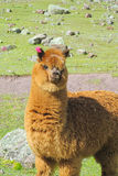 Brown furry llama on green meadow. The llama, Lama glama domesticated South American camelid animals on the green meadow in the Andes mountains. Brown furry Royalty Free Stock Photo