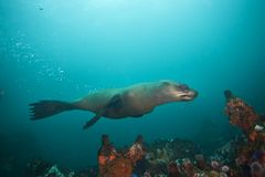 brown futerkowa foka, arctocephalus pusillus, Południowa Afryka Fotografia Stock
