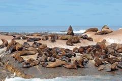 Brown futerkowej foki kolonia Zdjęcia Royalty Free