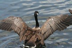 Brown gąska w jeziorze z piórkami rozprzestrzeniającymi Zdjęcia Stock
