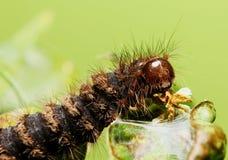 Brown gąsienica Fotografia Royalty Free