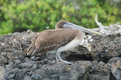 Brown Galapagos Pelican Royalty Free Stock Image