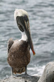 Brown Galapagos Pelican Stock Photo