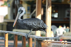 Brown Galapagos Pelican Royalty Free Stock Photography