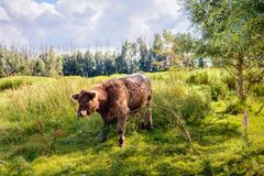 Brown Galloway bull quietly eating a young willow tree Royalty Free Stock Photography