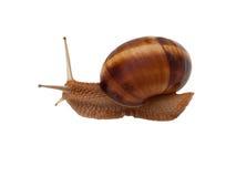 Brown garden snail Stock Photo