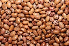 Brown-Gartenbohne Stockfoto