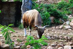 Brown gaur Obraz Stock