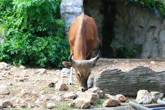 Brown gaur Zdjęcia Royalty Free
