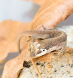 Brown gecko shedding skin Royalty Free Stock Photos