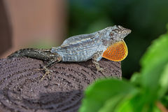 Brown Gecko Shedding Skin. Brown gecko / lizard / anole shedding his skin stock photo