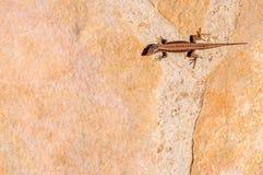 Brown-Geckoeidechse, die auf den Felsen ein Sonnenbad nimmt Lizenzfreie Stockfotos