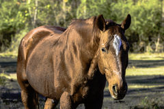 Brown gelding horse from chest up. Brown gelding horse from the chest up in a pasture Stock Photography