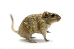 Brown gerbil Royalty Free Stock Image