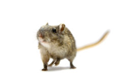 Brown gerbil Stock Images