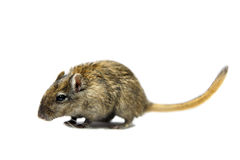 Brown gerbil Royalty Free Stock Photography